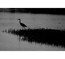 hunting heron Photographic Print
