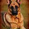 German Shepherd Dog Portrait by AngieM