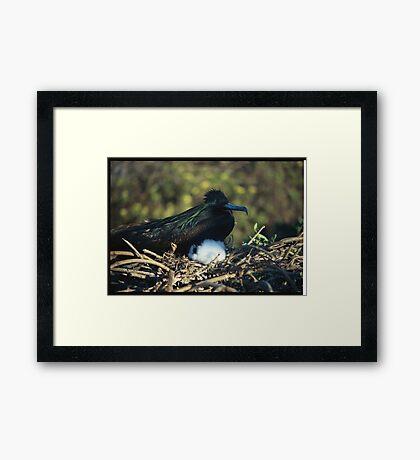 Galapagos nesting Framed Print