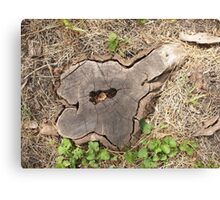 Top view of an old stump of cut tree cracked and rotten core Canvas Print