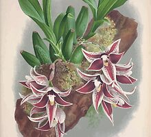 Iconagraphy of Orchids Iconographie des Orchidées Jean Jules Linden V3 1887 0049 by wetdryvac