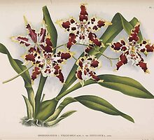 Iconagraphy of Orchids Iconographie des Orchidées Jean Jules Linden V14 1898 0192 by wetdryvac