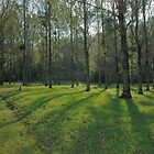 Silver birch in France by AlanPee