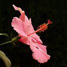 Radiant Hibiscus by Usha Ganesh