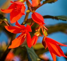 Begonia Flowers by Christina Rollo
