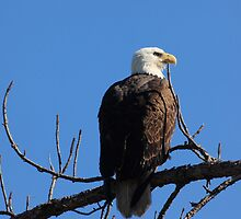 our national bird by kathy s gillentine