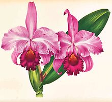 Iconagraphy of Orchids Iconographie des Orchidées Jean Jules Linden V17 1906 0020 by wetdryvac