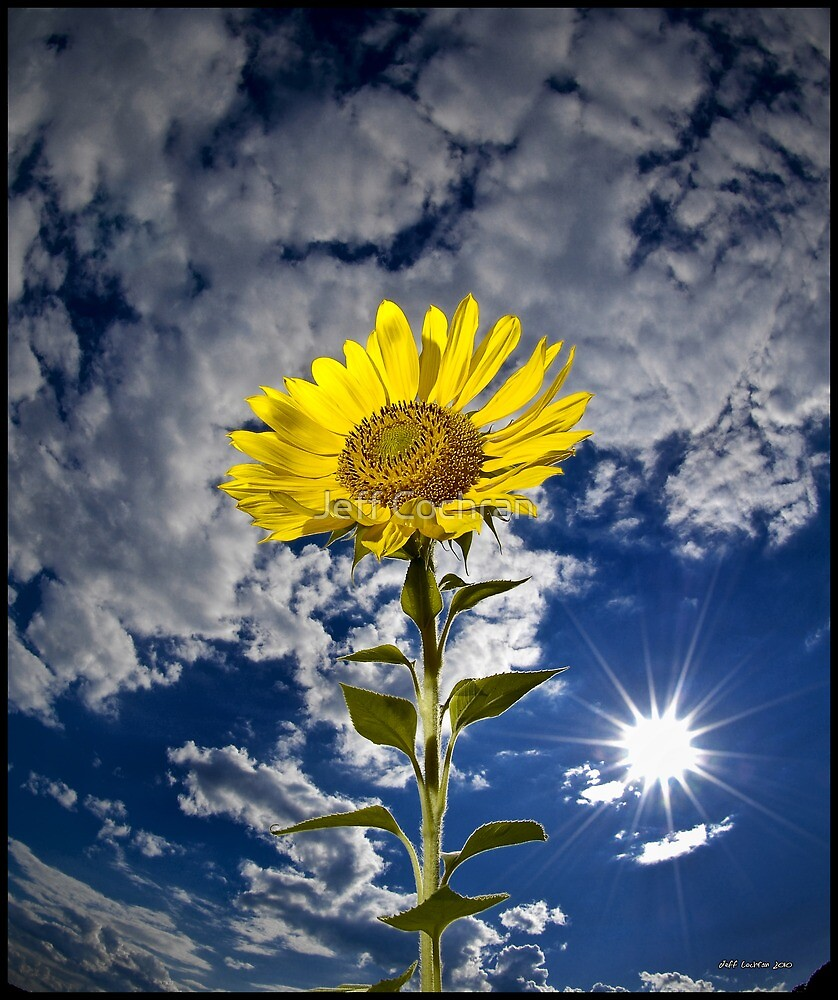 SunFlower by Jeff Cochran