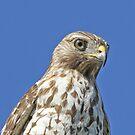 Immature unidentified hawk by jozi1
