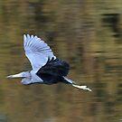 Little blue heron in flight by jozi1