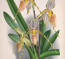 Iconagraphy of Orchids Iconographie des Orchidées Jean Jules Linden V3 1887 0033 by wetdryvac