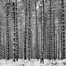 Black & White Pine by JEZ22