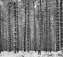 Black & White Pine by JEZ22