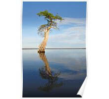 Solitary Cypress Poster