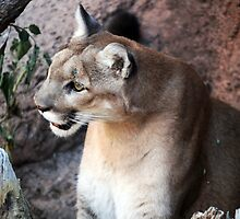 Desert Cougar by RichImage