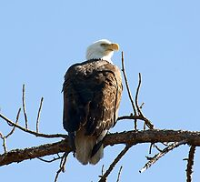 Bald Eagle by Gouzelka