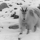 Rocky Mountain Ghost by Kerri Gallagher