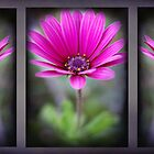 Triple Bloom  by Rozalia Toth