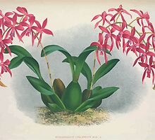 Iconagraphy of Orchids Iconographie des Orchidées Jean Jules Linden V4 1888 0050 by wetdryvac