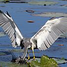 Tricolored heron fishing by jozi1