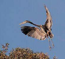 120410 Great Blue Heron by Marvin Collins