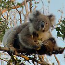 Koala family - Great Ocean Walk, Cape Otway by Ben |  Greg