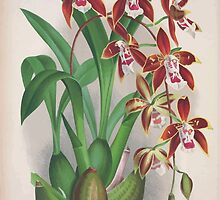 Iconagraphy of Orchids Iconographie des Orchidées Jean Jules Linden V4 1888 0082 by wetdryvac