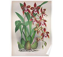 Iconagraphy of Orchids Iconographie des Orchidées Jean Jules Linden V4 1888 0082 Poster