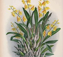 Iconagraphy of Orchids Iconographie des Orchidées Jean Jules Linden V4 1888 0114 by wetdryvac