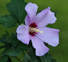 Rose of Sharon by Sandy Keeton