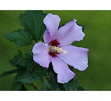 Rose of Sharon Photographic Print