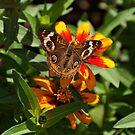 Buckeye Butterfly by Sandy Keeton