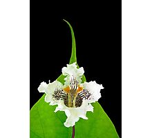 Catalpa Bloom and Leaf, Nature Photography Photographic Print