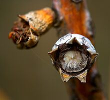 The Furry Seed by kgourlayphoto