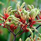 Kangaroo Paws 2 by Paul Todd