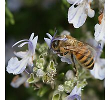 Bee May 2011 Photographic Print