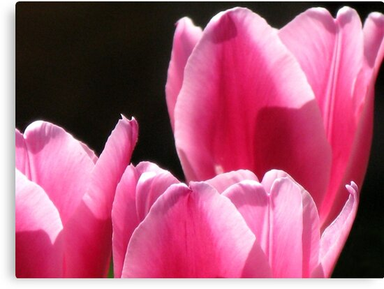 Pink Tulips by Marilyn Harris
