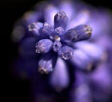 Blues in the shade - Mascari Bulb by Joy Watson