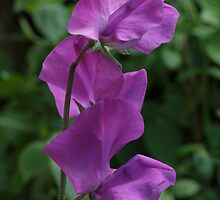 Oldbury Sweet Pea by Samantha Bailey