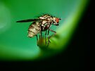 Fly - Closeup VIII / Acrobat by kutayk