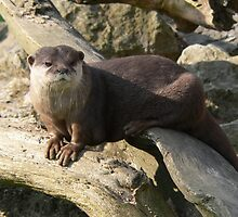 Special African Clawless Otter by cute-wildlife