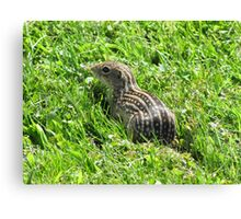 Ground Squirrel nature photograph Canvas Print