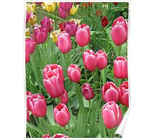 Spring Time Floral Tulips Galore photograph Poster