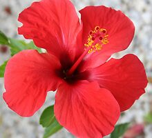 A Stunning Scarlet Hibiscus Tropical Flower by taiche