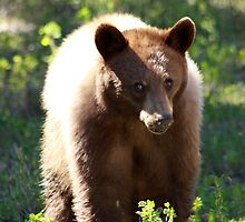 Young American Black Bear by Alyce Taylor