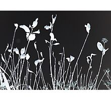 Silhouetted against Field Photographic Print