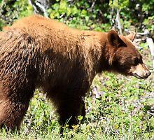 American Black Bear by Alyce Taylor