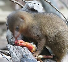 Awesome Dwarf Mongoose by cute-wildlife