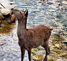Miyajima Island Deer by Jenni Tanner