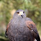 Harris's Hawk by Sherry Pundt